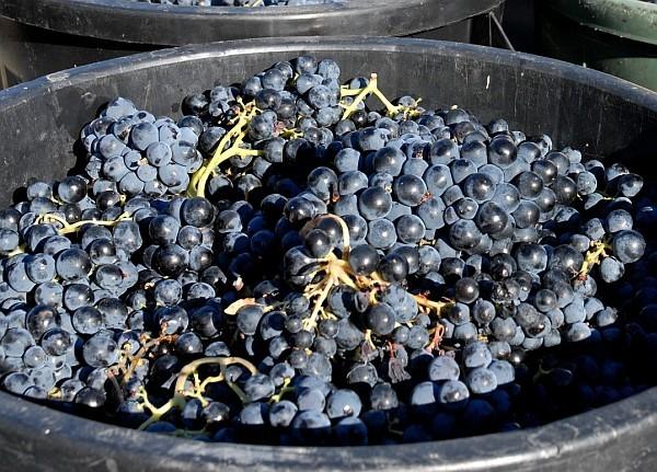 Seul le Languedoc-Roussillon devrait voir sa récolte 2014 baisser de - 11 % par rapport à l'an passé. (Photo Fotolia)